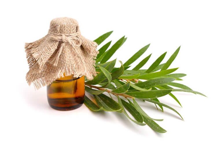 Teebaumöl Milben teebaumöl inhaltsstoffe wirkung und anwendungsgebiete